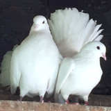 2 COLOMBE RABBANI